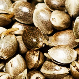 germinated_hemp_seed_close_up.jpg