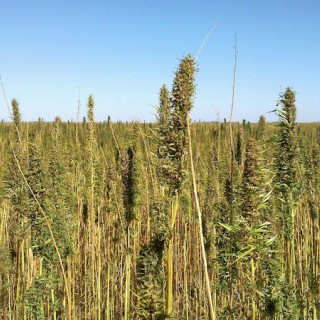 Canadian organic hemp seed production is unsustainable.